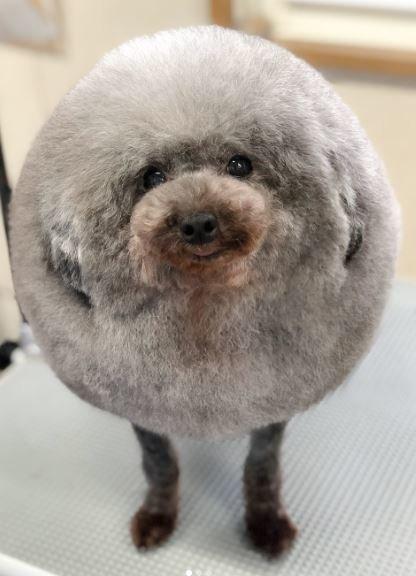 Αυτός ο σκύλος πήγε για μαλλί και βγήκε κουρεμένος. Και πλέον μοιάζει με