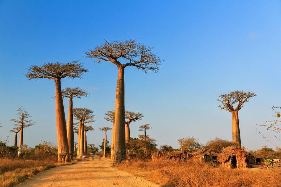 Baobab trees in Madagascar.