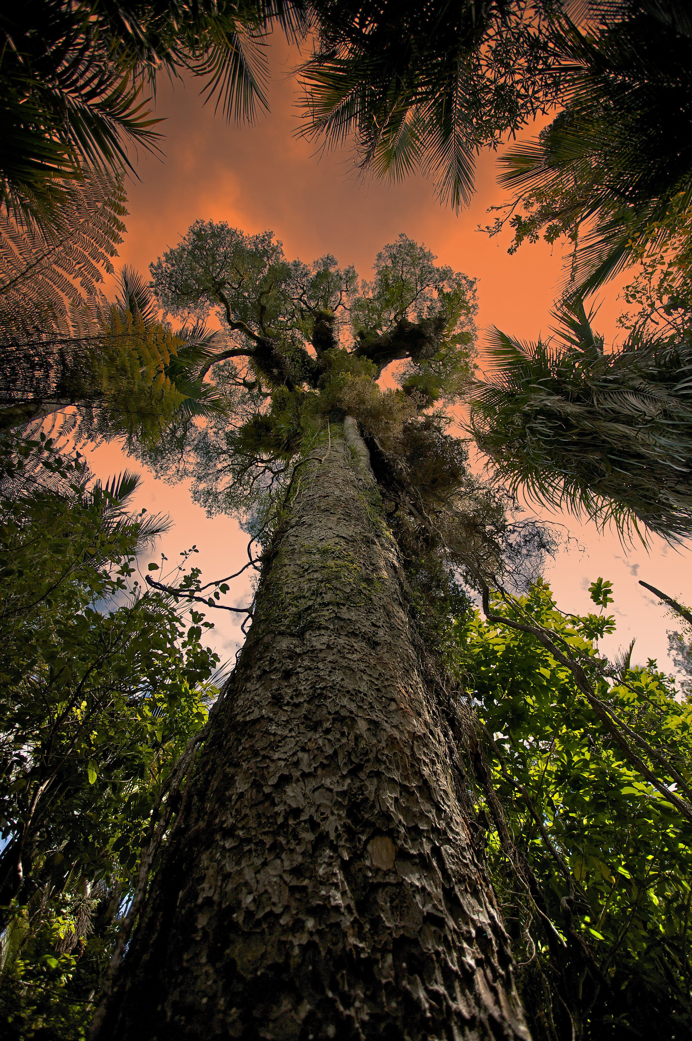 A Giant Kauri tree in Waitakere Ranges Regional Park near Auckland, New Zealand.