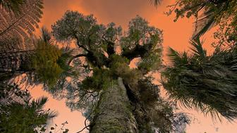 Giant kauri tree, Waitakere Ranges Regional Park near Auckland, New Zealand