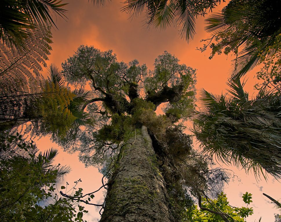 A Giant Kauri tree in Waitakere Ranges Regional Park near Auckland, New Zealand.