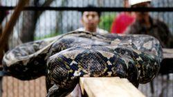 Indonésie: une femme dévorée par un python