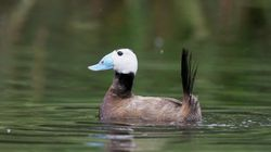 Mila: dénombrement de 15 érismature à tête blanche, un oiseau