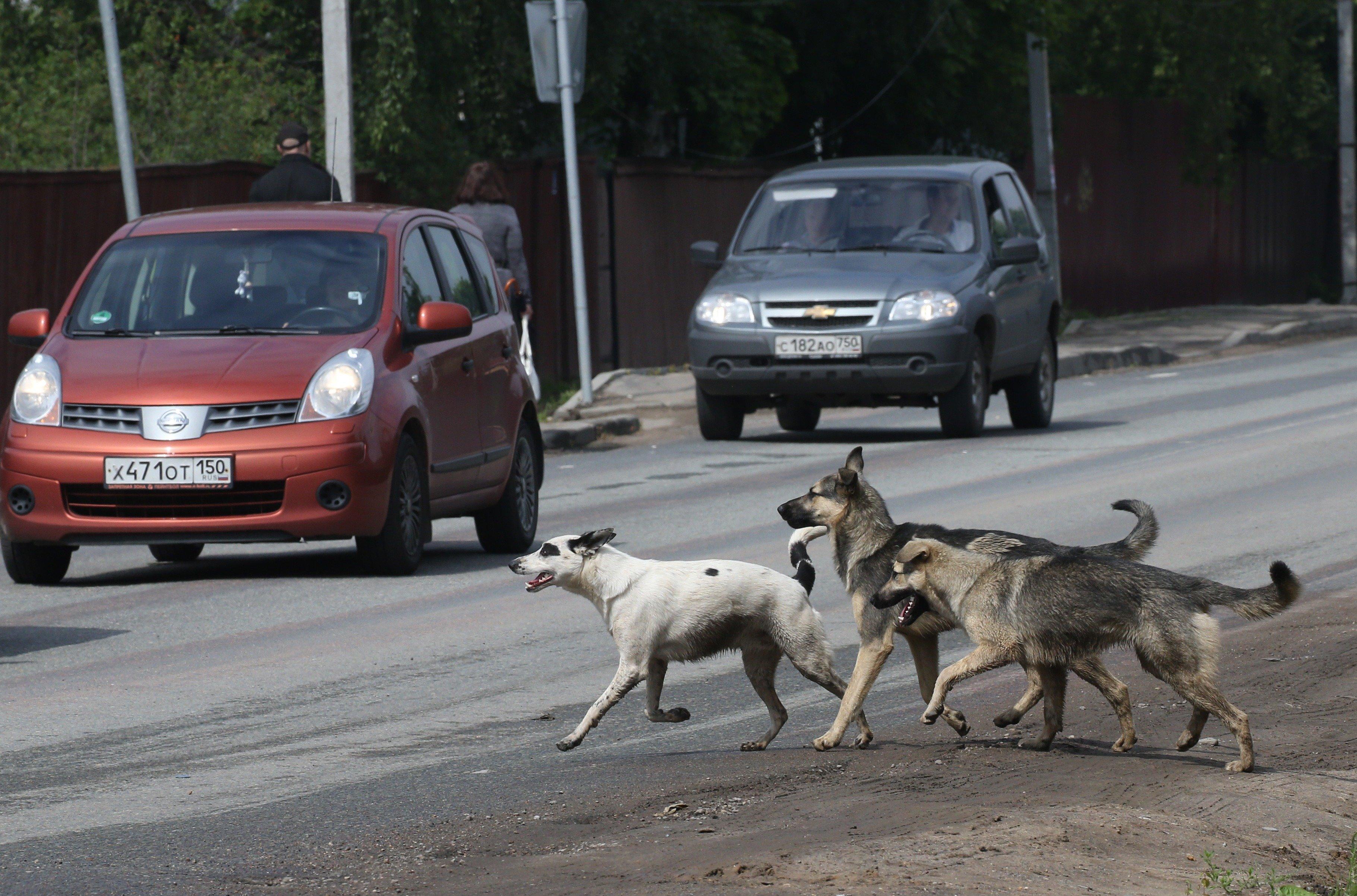 러시아에서 떠돌이개 소탕작전이 벌어지고