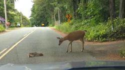 자동차에 겁먹은 새끼 사슴에게 어미가