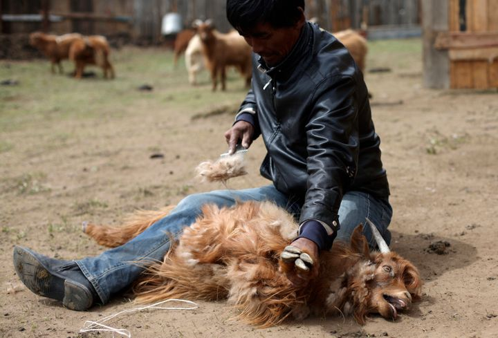 A farmer removes hair from a cashmere goat at a farm in Gachuurt, near Ulaanbaatar in Mongolia.