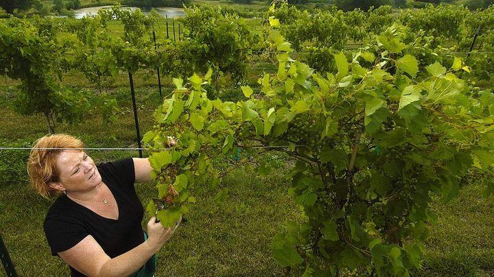 Jennifer Reeder prunes vines at Deer Springs vineyards near Prairie Home, Nebraska.