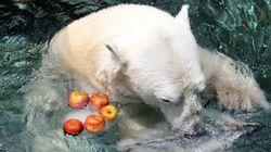 한국에서의 마지막 여름을 맞은 북극곰 통키의