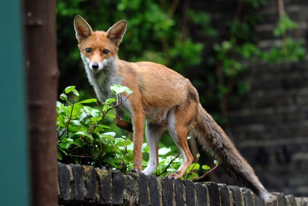 woman tells of horror fox attack after waking covered in blood