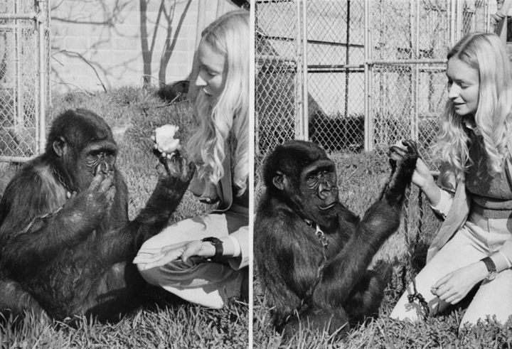 "Koko, at age four, with Dr. Francine ""Penny"" Patterson. At left, Koko indicates ""eat"" with bunched fingertips to he"