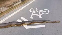 Tranquille, un anaconda traverse la route au Brésil