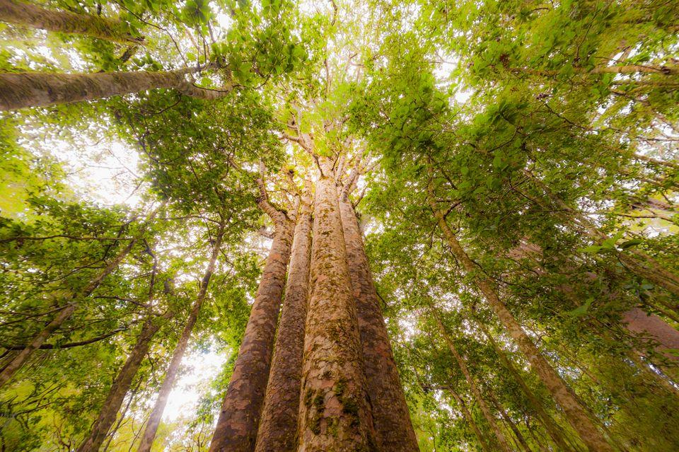 전 세계에서 오래된 나무들이 죽어가고