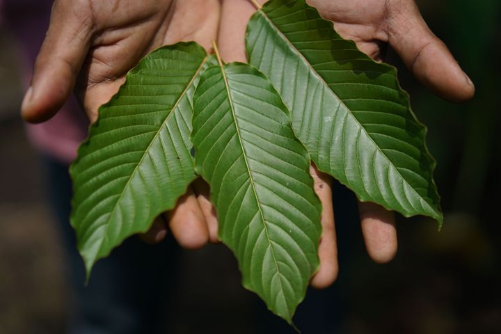 A worker displays kratom leaves in Indonesia. Some kratom consumers living in U.S. states where the herbal drug is banne