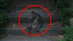 북한산에 원숭이가 나타났는데, 어디서 왔는지 아무도 모른다
