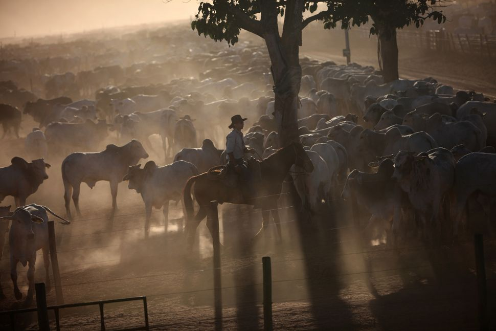 Cattle graze in a ranch in Barretos, Brazil.