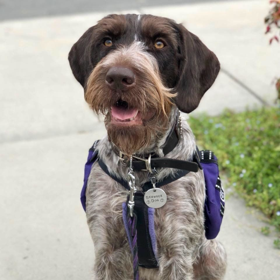 Jubilee is a German wirehaired pointer trained to help her handler, Ariel Wolf, with mobility