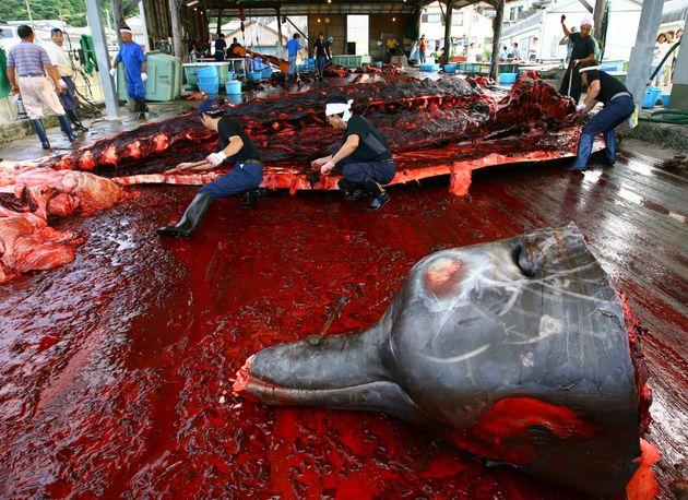 전국 86개 '동물축제' 대부분이 동물을 죽음에 이르게 하거나 죽을 정도의 스트레스를 가하는 내용으로 꾸려지고 있다는 조사 결과가 나왔다. 이 조사를 의뢰한 이들은...