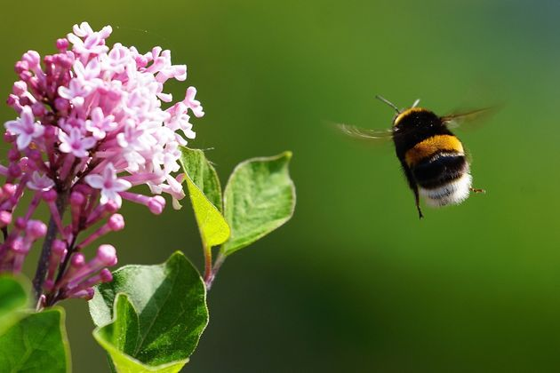 Bumblebees In Urban Areas Are Thriving Better Than Those In The