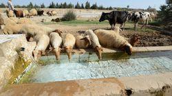 La Tunisie n'importera pas de moutons pour l'Aïd El