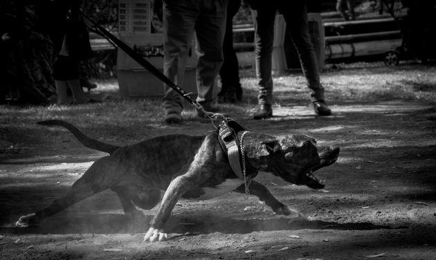 Άνδρας σκότωσε δύο πίτμπουλ έπειτα από επίθεσή τους στο σκύλο του στην