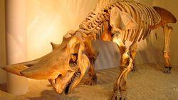"""Des fossiles de """"rhinocéros"""" datant de 55 millions d'années découverts au Maroc"""