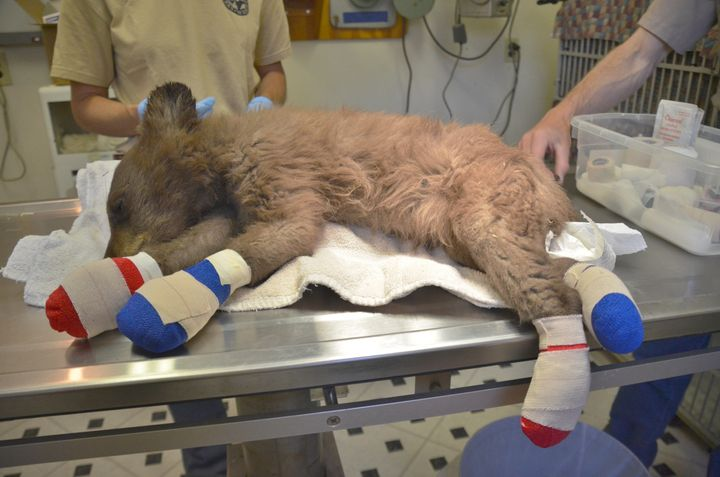A bear cub whose feet were burned in the 416 wildfire is treated by Colorado Parks and Wildlife staff in Durango, Colorado, o