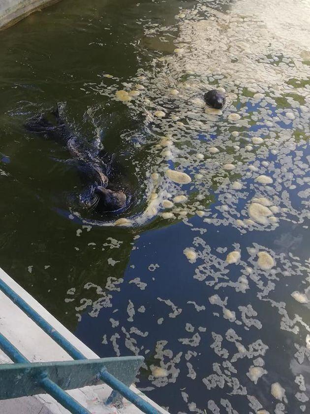 Un phoque dans des eaux troubles au Belvédère? Les internautes