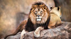 Δηλητηρίασαν και κομμάτιασαν λιοντάρια σε πάρκο άγριας ζωής της Νότιας