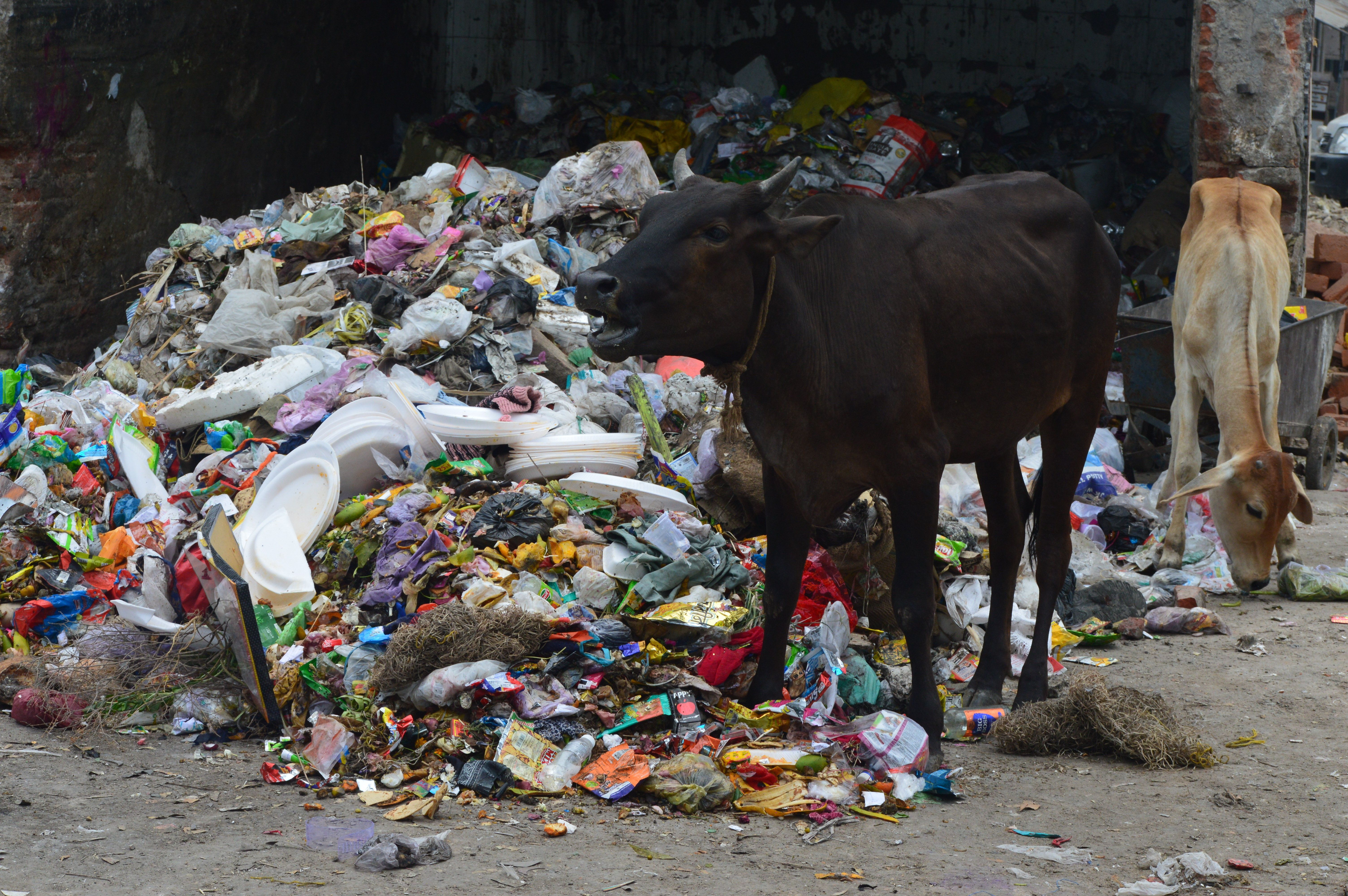 A cow grazing among plastic trash near Azadpur Market in New Delhi.