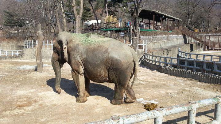 덩치가 큰 코끼리는 동물원에서 사육하는 데 정성을 쏟아야 한다.