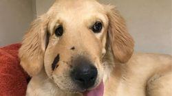 Σκύλος δαγκώθηκε από κροταλία στο πρόσωπο προστατεύοντας την αφεντικίνα