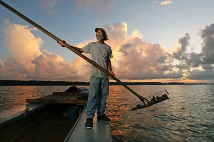 <p>Kendall Schoelles harvests oysters from the Apalachicola Bay in 2010. The oyster industry has collapsed in recent years because of the increasing salinity of the bay. </p>
