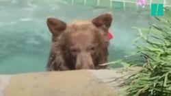 개인 집 자쿠지에서 마르가리타를 즐기던 야생 곰이 동영상에