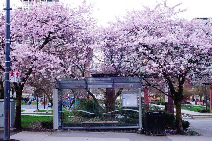 벚꽃이 활짝 핀 밴쿠버 시내