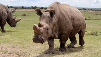 LAIKIPIA, KENYA - MAY 03: A northern white rhinoceros is seen at Ol Pejeta Conservancy, a 90,000-acre (360 km2) not-for-profit wildlife conservancy, in Central Kenya's Laikipia County on April 03, 2017. At the edge of the extinction, three northern white rhinoceros are the last ones of their species in the world. Three northern white rhinoceros or square-lipped rhinoceros (Ceratotherium simum) those named Sudan, the male one; Najin and Fatu, female ones, are being guarded and observed 24 hours to keep away poachers. (Photo by Andrew Wasike/Anadolu Agency/Getty Images)