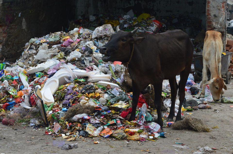 Eine Kuh weidet neben Plastikabfall in der Nähe des Azadpur-Markt in