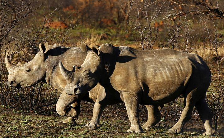 Rhinos are seen at a reserve in South Africa's North West province. The rhino poachers were found dead in the Sibuya Gam