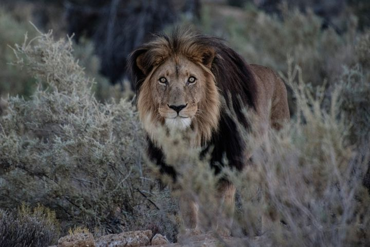 A male lion is seen in a game reserve in South Africa. At least two rhino poachers are believed to have been eaten by lions a