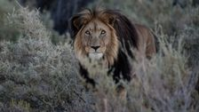 Lions Eat Suspected Rhino Poachers On South African Game Reserve