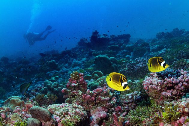 A pair of raccoon butterflyfish swim the reef off Palmyra Atoll, part of Pacific Remote Islands...