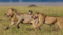사자들이 코뿔소 밀렵꾼들을