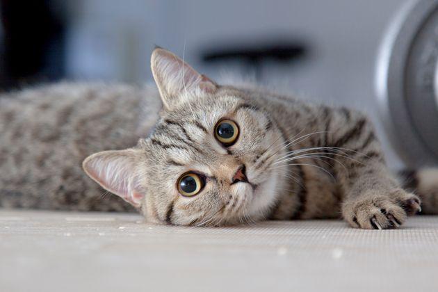 현대 고양이의