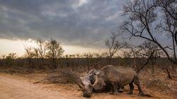 Wilderer töten Nashörner – dann kommen