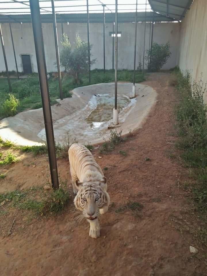 Une petite fille mordue par un tigre dans un parc à