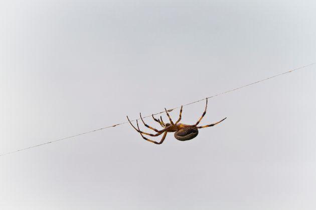 거미는 전기를 이용해 날개 없이 장거리 비행을