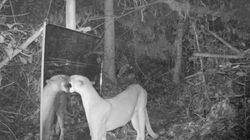 Κάμερα καταγράφει άγρια ζώα να αντικρίζουν τους εαυτούς τους σε καθρέφτη και οι αντιδράσεις τους είναι