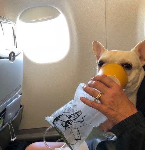 한 항공사 승무원들이 저산소증에 빠진 개를