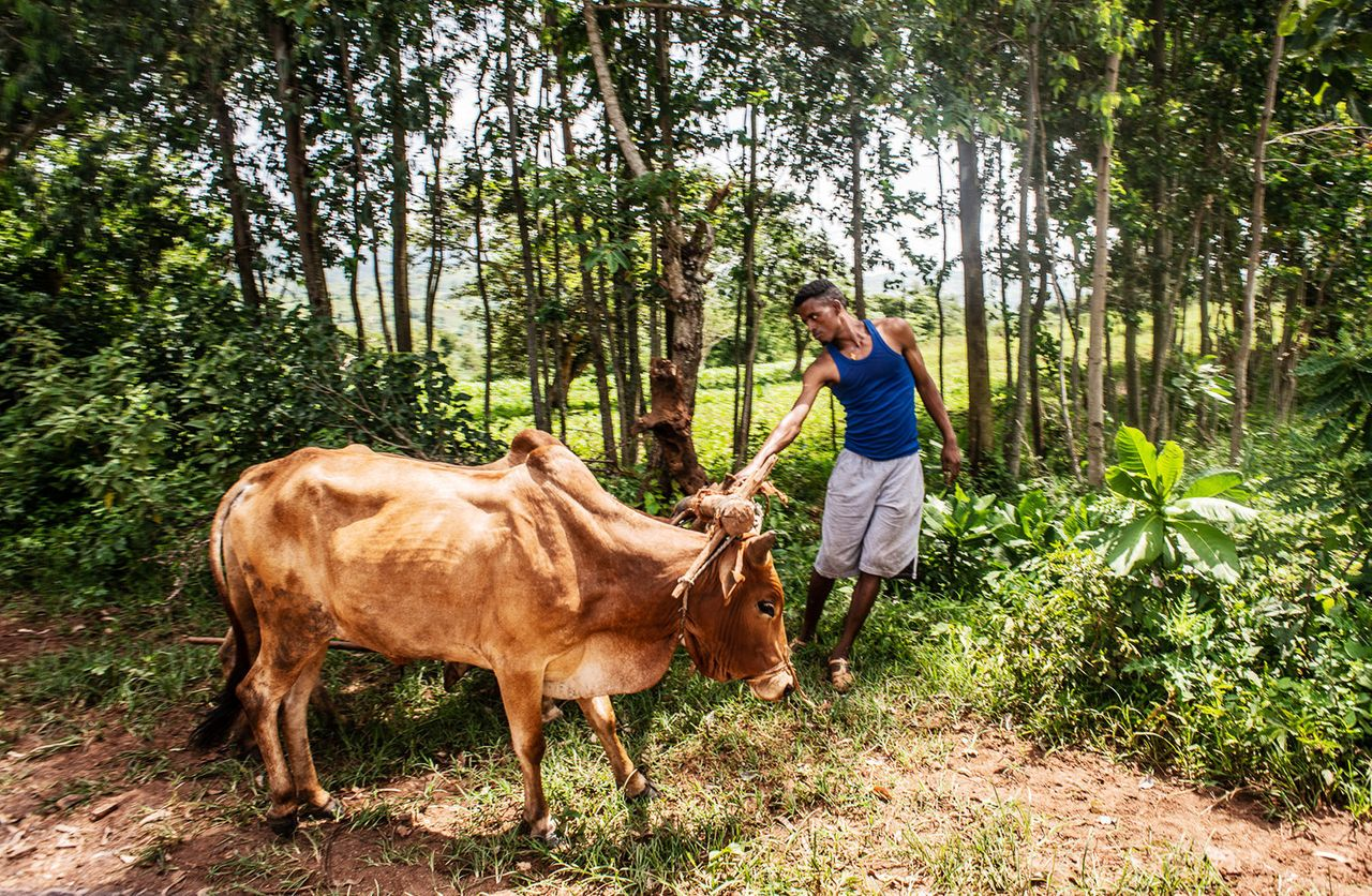A young farmer and his cattle near the village of Gesabale in southern Ethiopia. As much as 80 percent of Ethiopia's population live in rural areas.