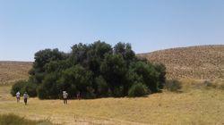 Le plus grand olivier en Méditerranée se trouve en