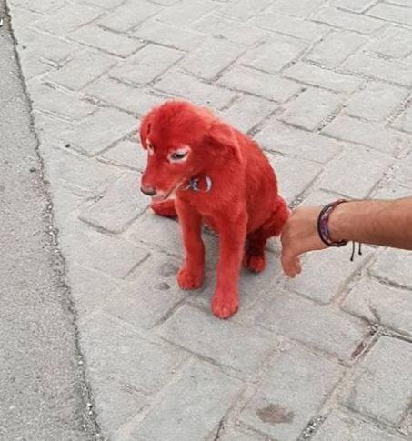 Κουτάβι βαμμένο με κόκκινη μπογιά βρέθηκε σε καταυλισμό στο